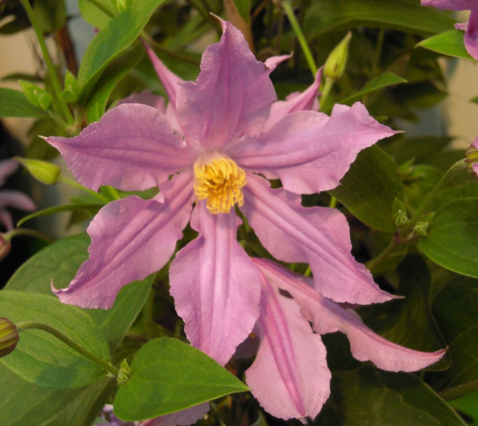 clematis 'East River'
